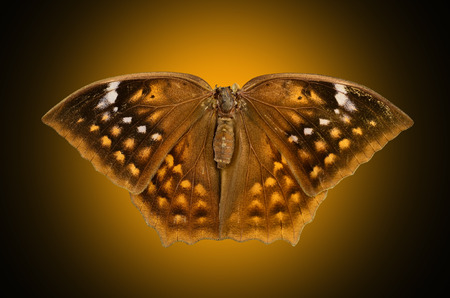 Butiful Brown butterfly Isolated on yellow light background
