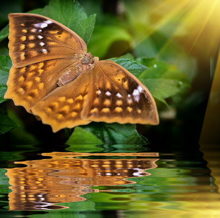 Brown butterfly on green leave with reflection in garden Stock Photo