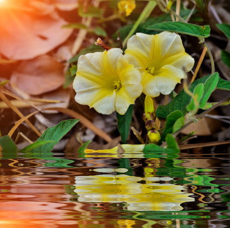 Yellow Morning Glory blooming with reflect in water