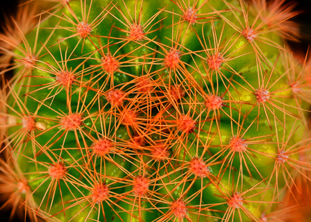 Close up Large red thorn on big cactus Stock Photo