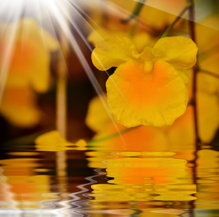 Dendrobium chrysotoxum  blooming in garden with reflect on water pond
