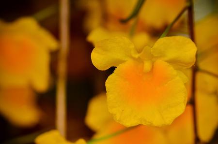 Dendrobium chrysotoxum  blooming in garden Stock Photo