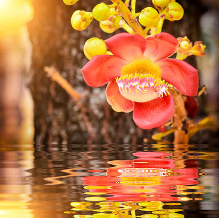 bethesda: Beautiful Sal flowers with bokeh background and reflection Stock Photo