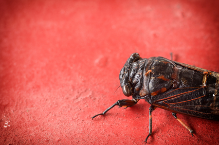 close up Cicada on red cement background Stock Photo