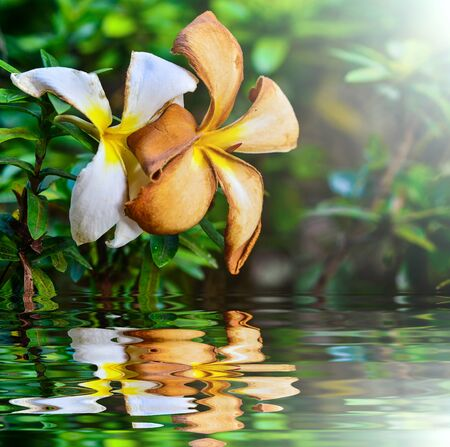 Fresh and dried frangipani with reflect in water