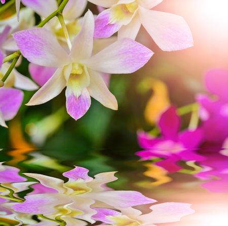 Beautiful pink ochids in garden with reflect