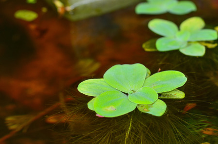 close up duckweed in pond