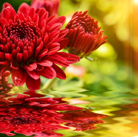Chrysanthemum blooming in garden with reflect