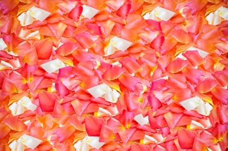 Close up beautiful Rose background