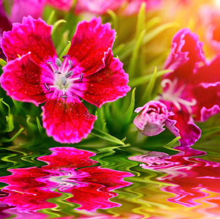 Beautiful Dianthus blooming in garden with reflect