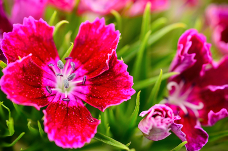 Beautiful Dianthus blooming in garden