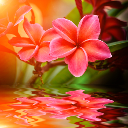 Plumeria  flower blooming in garden with reflect Stock Photo