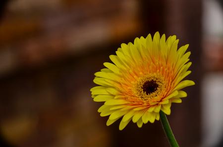 Beautiful Gerbera daisy in nature