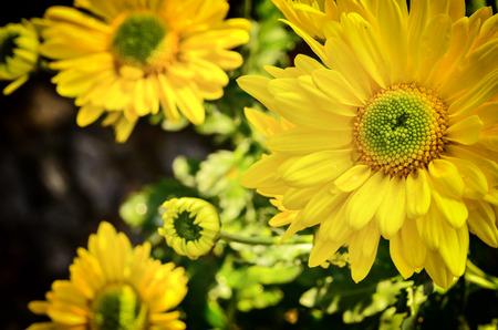 Beautiful chrysanthemum blooming in nature Stock Photo
