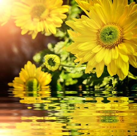 Beautiful chrysanthemum blooming in nature with reflect Stock Photo