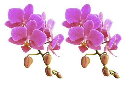 Phalaenopsis blooming isolate on white background Stock Photo