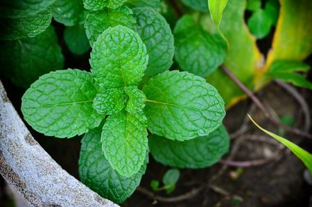 Fresh Mint leaves in pot