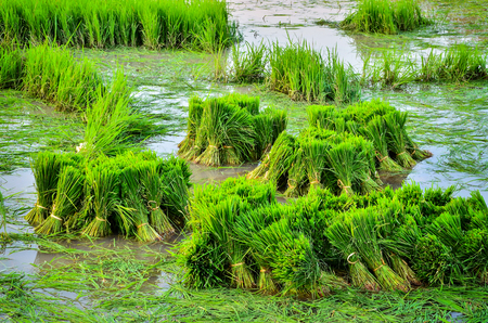 Young rice plant in field