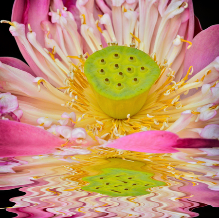 Beautiful lotus pollen in nature with reflect Stock Photo