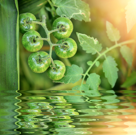 Young Tomatoes on the tree with reflect