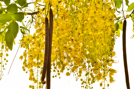 beautiful branch fistula flower ion tree