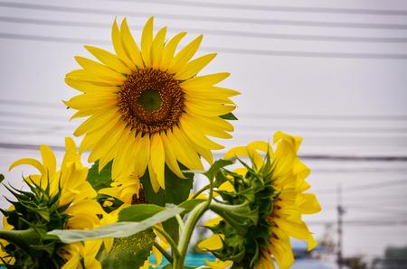 Beautiful Sun flower blooming in garden