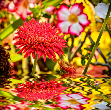 Gerbera flower blooming in garden with reflect