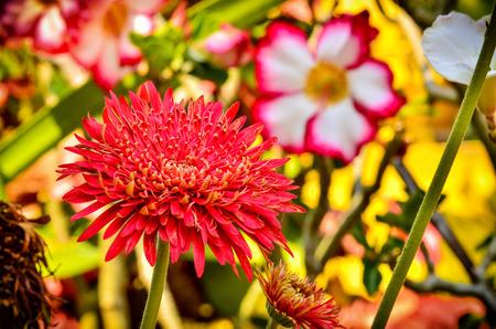 Gerbera flower blooming in garden