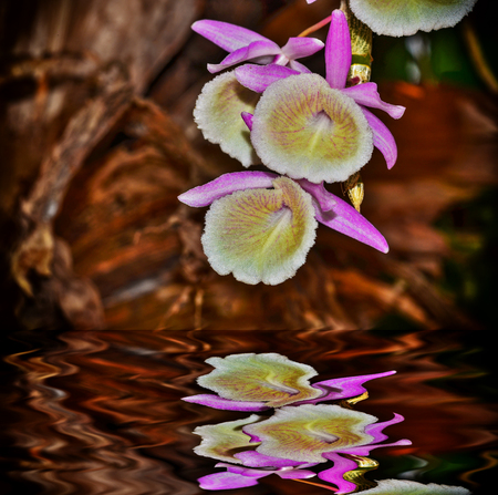 Orcid flower blooming in garden with reflect
