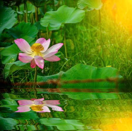 Beautiful blossom lotus flower in pond with reflect Stock Photo