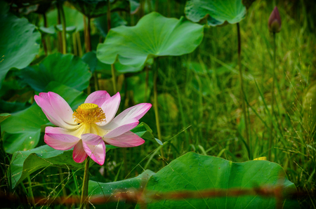 Beautiful blossom lotus flower in pond Stock Photo