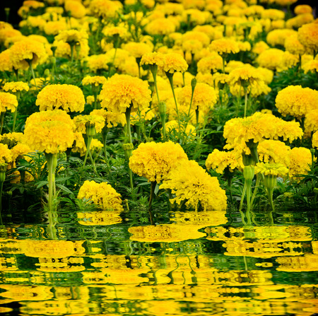 Beautiful marigold  flower blooming  and reflect Stock Photo