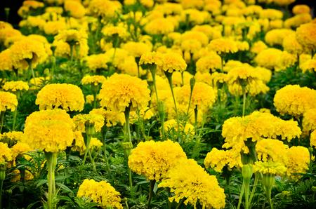 Beautiful marigold  flower blooming  in garden