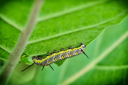 caterpillar hang on tree in garden