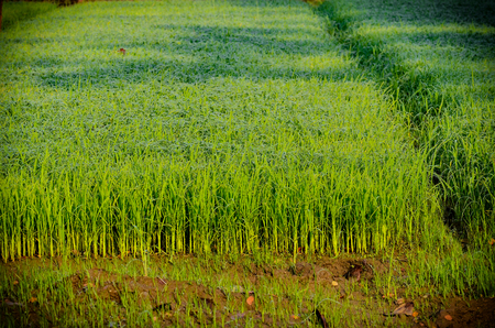 Fresh Young rice in field