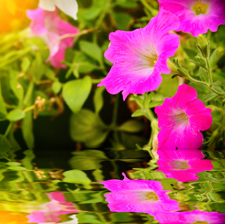 Petunia flower blooming in garden with reflect