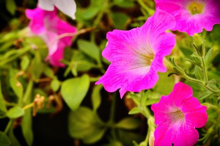 Petunia flower blooming in garden Stock Photo
