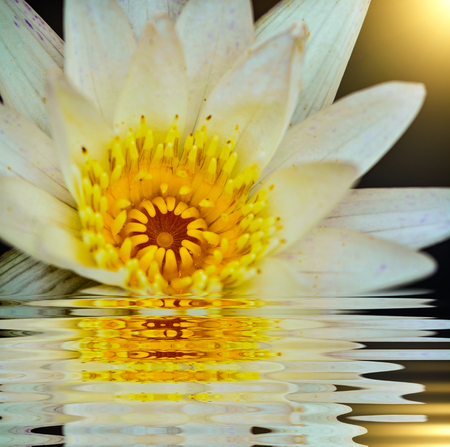 white water lily blossom in nature with reflect