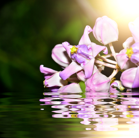Crown flower calotropis gientea with reflect