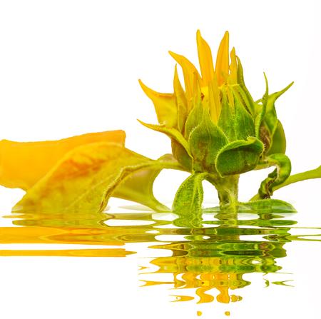 Budding Sunflower with reflect on white background Stock Photo