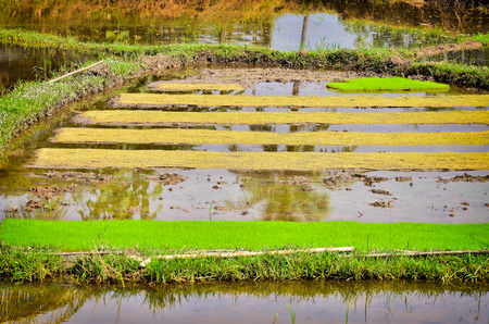 Young  Rice seedlings in field