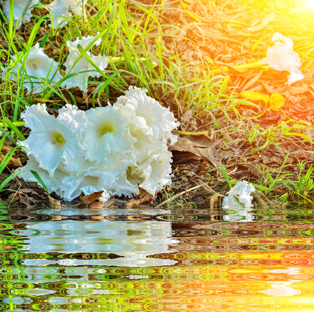 Dolichandrone serrulata flower with reflect Stock Photo - 111070705