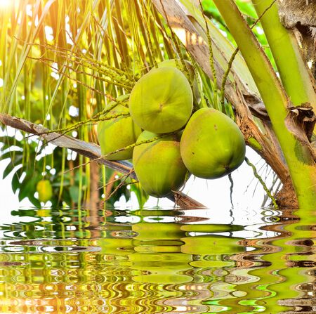 Coconut on tree in nature with reflect