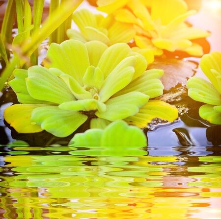 Beautiful Water Lettuce bloom with reflection Фото со стока