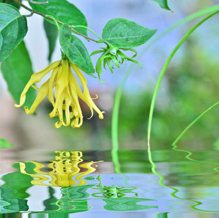 Beautiful Ylang ylang blooming in garden with reflection