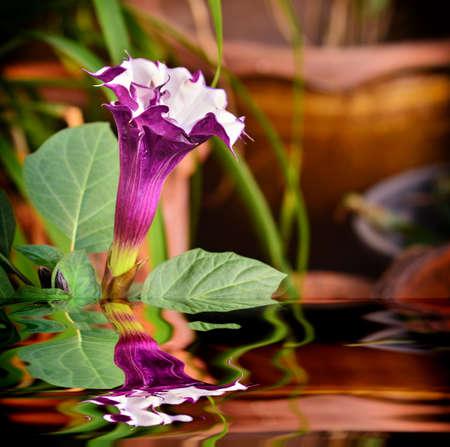 Beautiful Brugmansia Pers  flower in garden with reflection Zdjęcie Seryjne