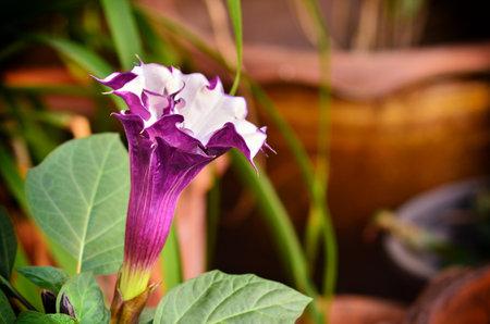 Beautiful Brugmansia Pers  flower in garden