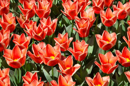 Field of scarlet tulips with green leaves