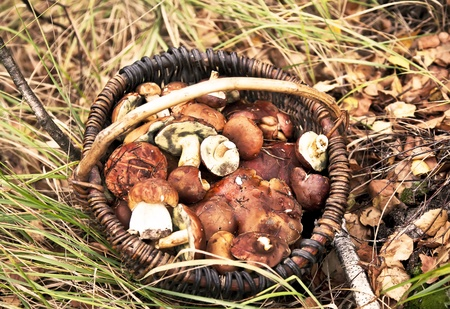Basket with mushrooms in autumn forest photo