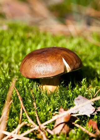 cep mushroom: Brown cep mushroom in green moss in forest Stock Photo
